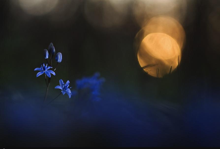 FlowerBlueBellsMoon